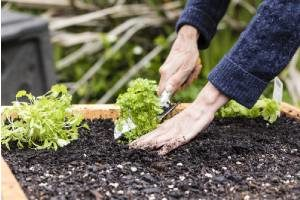 Person planting seedlings in a raised garden bed