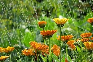Rain Garden flowers