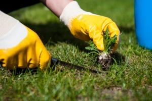Weeds-Prepare Lawn
