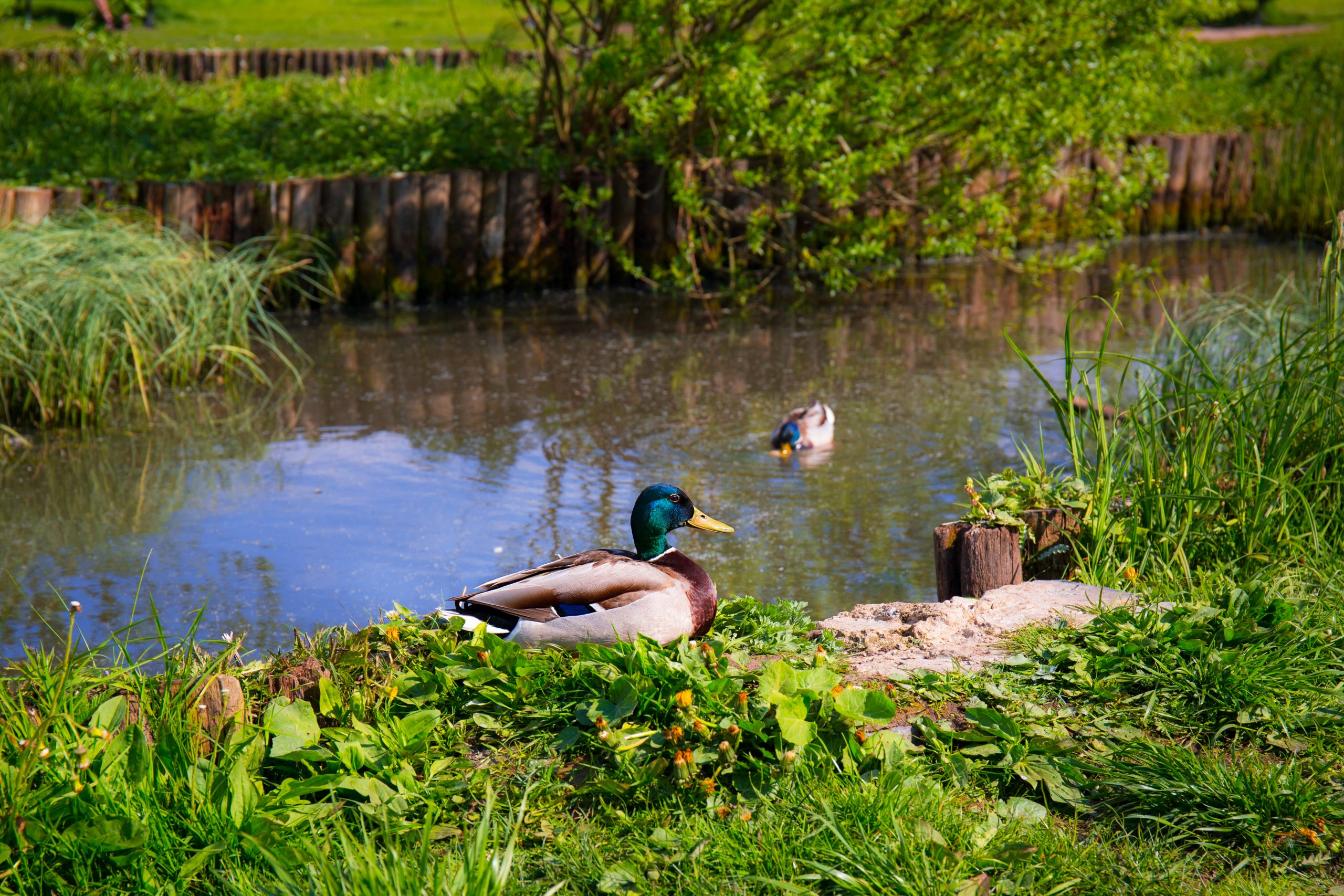 Retention pond with Mallard ducks