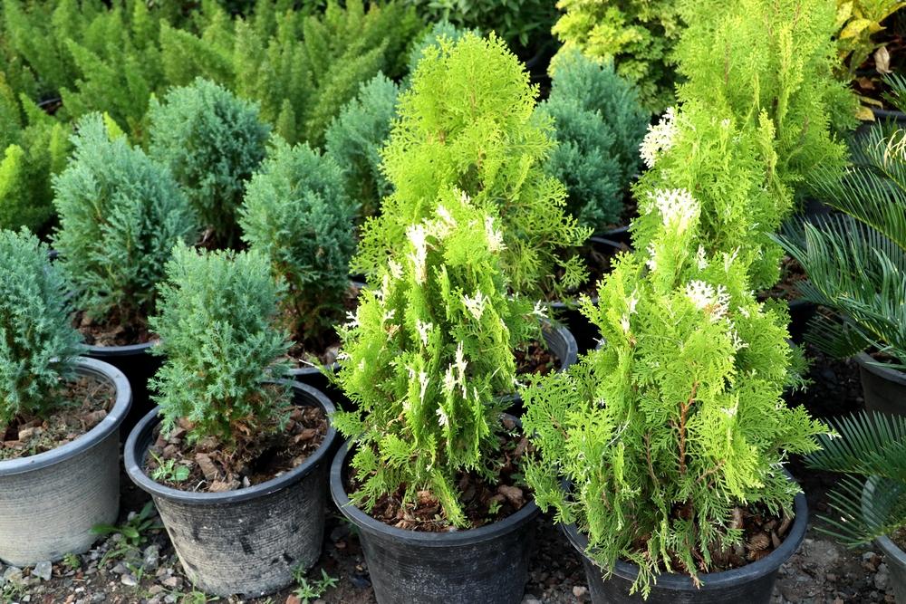 evergreen plants ready to go